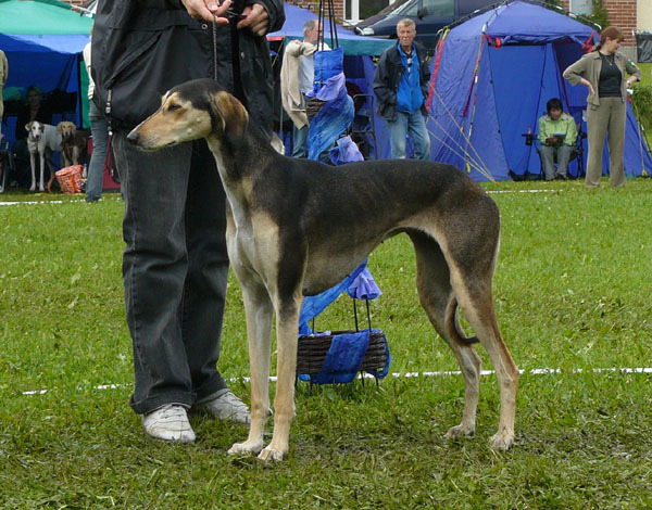 Bonny at the Saluki Congress in Finland